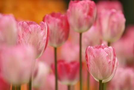 Tulip flowers photo