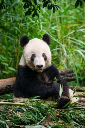 Giant panda eating bamboo Stok Fotoğraf - 22284557
