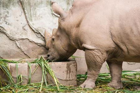 dermal: Rhino was eating