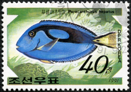 paracanthurus: DPR KOREA - CIRCA 1991  A stamp printed by DPR KOREA  North Korea  shows a fish  paracanthurus hepatus , stamp is from the series  Tropical fishes  circa 1991