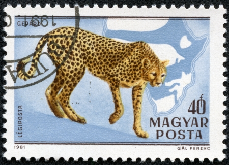 HUNGARY - CIRCA 1981  A stamp printed in HUNGARY shows a Acinonyx jubatus, Africa series, circa 1981
