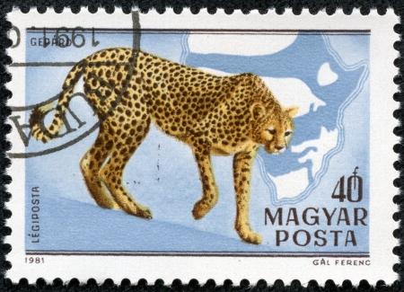 gepard: HUNGARY - CIRCA 1981  A stamp printed in HUNGARY shows a Acinonyx jubatus, Africa series, circa 1981