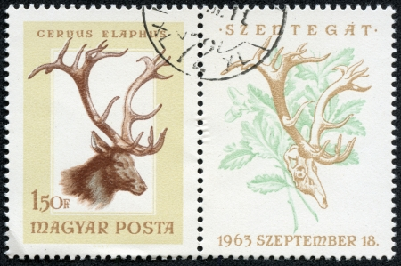 magyar: HUNGARY - CIRCA 1963  post stamp printed in Hungary  Magyar  shows red deer  cervus elaphus  from hunting trophies - animals in natural colors series, Scott catalog 1784 A383 1 50fo brown, circa 1963