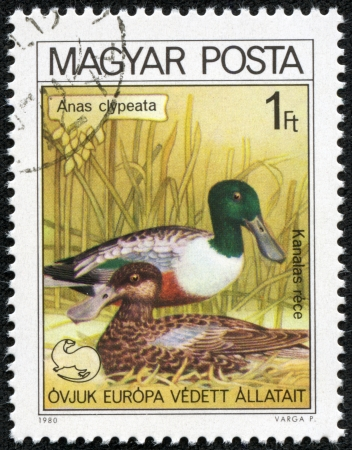 HUNGARY - CIRCA 1980  A stamp printed in HUNGARY shows a Northern Shoveler  Anas clypeata , from series bird s nest, circa 1980 photo