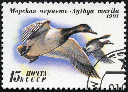 scaup: USSR - CIRCA 1991  A stamp printed in USSR  Russia  shows Greater Scaup  Aythya marila  with the same inscription, from the series  Ducks , circa 1991