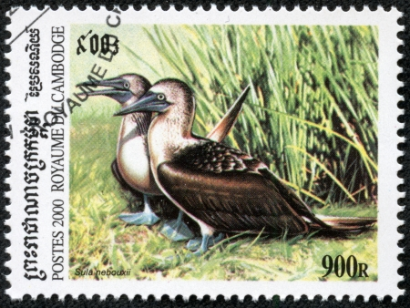 booby: CAMBODIA - CIRCA 2000  A stamp printed in Cambodia showing sula nebouxii, circa 2000 Stock Photo