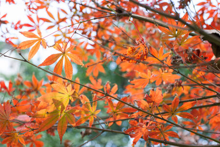 bloodgood: red maple leaves