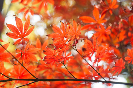 red maple leaves in sunshine Stock Photo