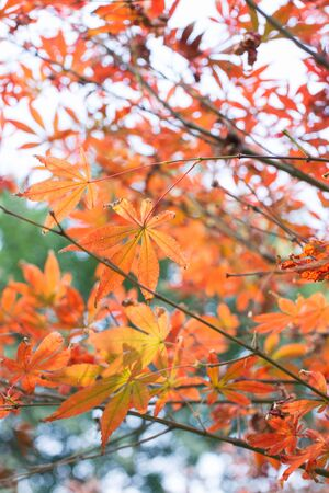 bloodgood: red maple leaves in sunshine Stock Photo