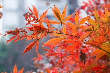 red maple leaves closeup Stock Photo