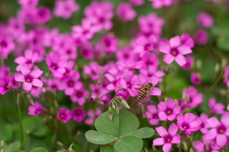 corniculata: oxalis flower and bee