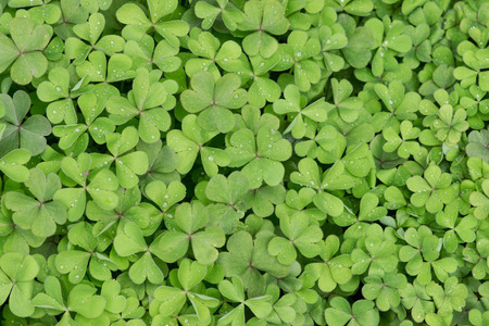 oxalis background
