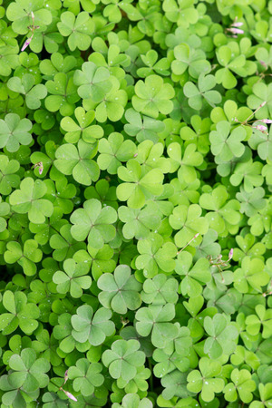 oxalis background photo