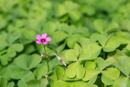creeping woodsorrel: oxalis blooming close up