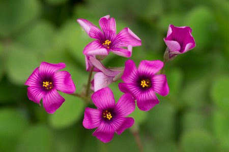oxalidaceae: oxalis blooming close up