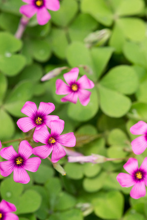 corniculata: oxalis blooming close up