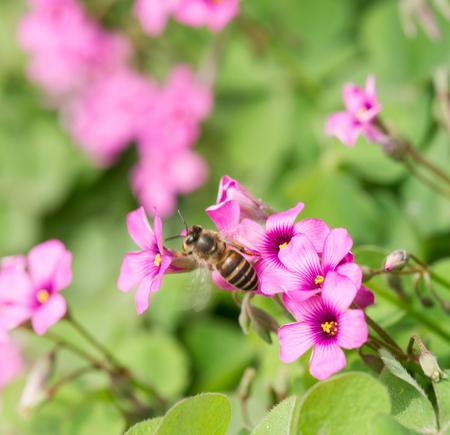 creeping oxalis: oxalis flower and bee