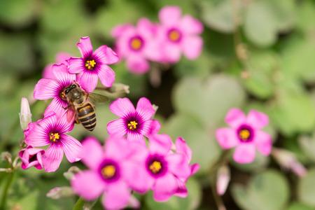 creeping woodsorrel: oxalis flower and bee