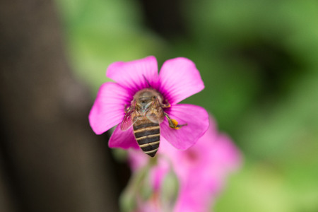 oxalis flower and bee photo