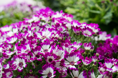 African daisies photo