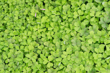 creeping woodsorrel: oxalis Stock Photo