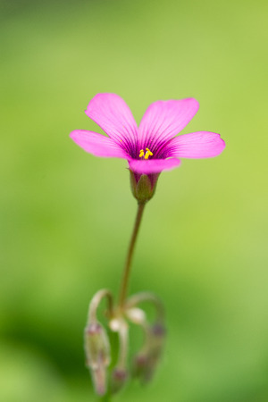 oxalis blooming close up photo