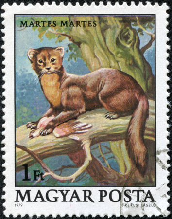 "marten: HUNGARY - CIRCA 1979: A stamp printed in Hungary shows European Pine Marten (Martes martes), with the same inscriptions, from the series \ \ ""Wildlife Protection \\\"", circa 1979."