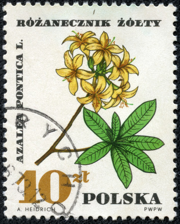 philatelic: POLAND - CIRCA 1967  A stamp printed in Poland shows Azalea Pontica, with the same inscription, from the series  Medical Plant , circa 1967