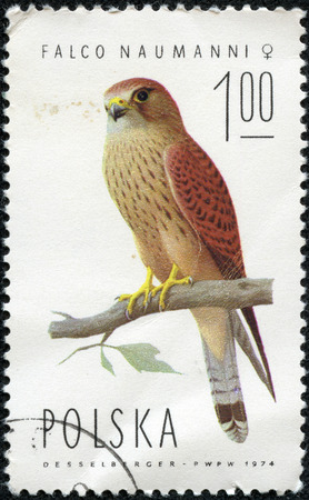 POLAND - CIRCA 1974  A stamp printed in POLAND shows Lesser Kestrel female  Falco naumanni , from series Falcons, circa 1974