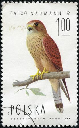 POLAND - CIRCA 1974  A stamp printed in POLAND shows Lesser Kestrel female  Falco naumanni , from series Falcons, circa 1974 Stock Photo - 29604107
