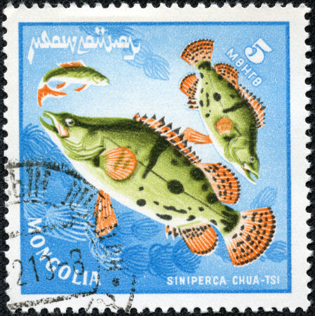 ichthyology: MONGOLIA - CIRCA 1978  a stamp printed by Mongolia show the fishes with the inscription  siniperca chuatsi , series, circa 1978