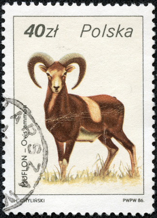 he goat: POLAND - CIRCA 1986  A Stamp printed in POLAND shows image of a Argali with the description  Ovis ammon  from the series  Wildlife  ; ;, circa 1986