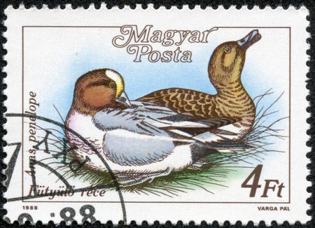 HUNGARY - CIRCA 1988  A stamp printed in Hungary shows a Eurasian Wigeon  Anas penelope , with the same inscription, from the series  Ducks , circa 1988