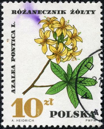 medical  plant: POLONIA - CIRCA 1967 Un sello impreso en Polonia muestra de Pontica, con la misma inscripci�n, de la serie Planta M�dica, alrededor del a�o 1967