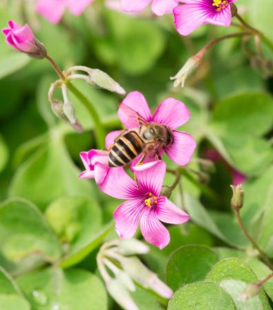 oxalis flower and bee photo