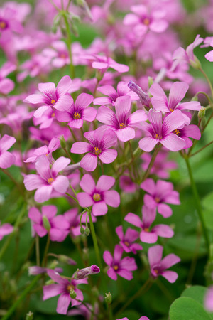 oxalis blooming photo