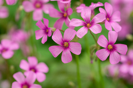 creeping woodsorrel: oxalis blooming Stock Photo