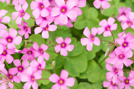 corniculata: oxalis blooming Stock Photo