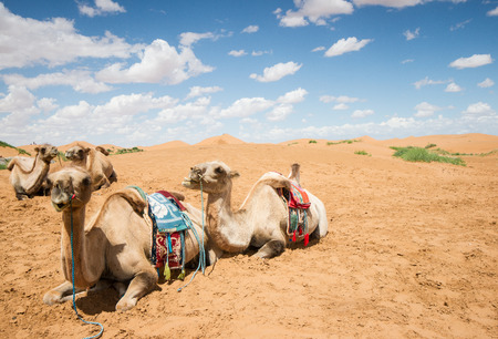 Camels have a rest in desert  photo