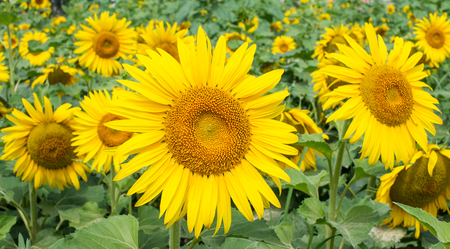 Yellow sunflowers in the field photo