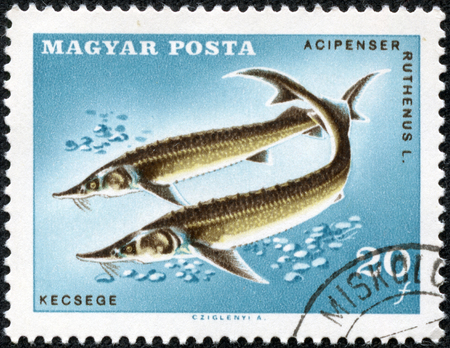 stamp printed in Hungary (Magyar) shows sterlets (acipenser ruthenus - kecsege), fish series - small species of sturgeon from eurasian, Scott catalog 1842 A395 20f, circa 1967 Stock Photo