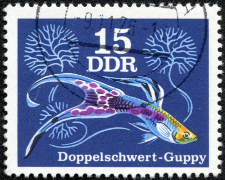 aquarist: GERMANY- CIRCA 1976: stamp printed by Germany, shows Guppy is one of the most popular freshwater aquarium fish species in the world, circa 1976. Stock Photo