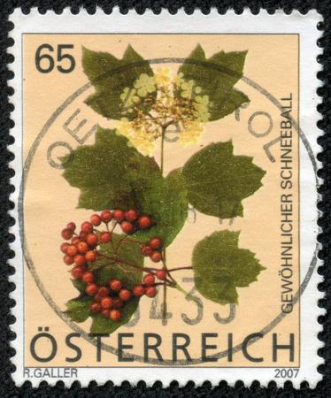 guelder: AUSTRIA - CIRCA 2007: a stamp printed in the Austria shows Guelder Rose, Viburnum Opulus, Flowering Plant, circa 2007