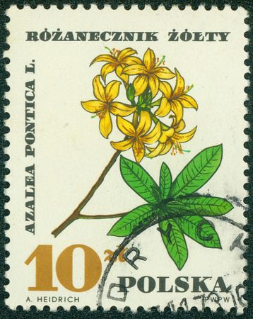 "azalea: POLAND - CIRCA 1967: A stamp printed in Poland shows Azalea Pontica, with the same inscription, from the series \\ \ ""Medical Plant \\\"", circa 1967 Stock Photo"