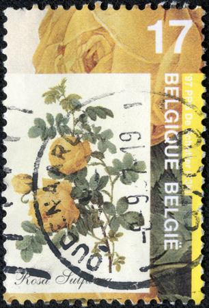 CHONGQING, CHINA - May 20, 2014:A stamp printed by Belgium shows Rose, Rosa sulfurea, circa 1997. Editöryel