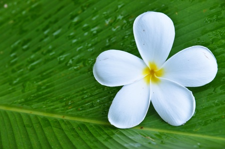 frangipani: Frangipani on green grass Stock Photo