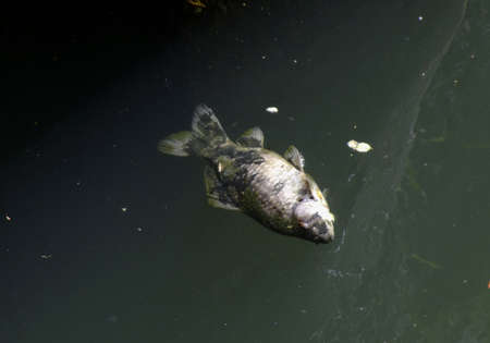 Dead fish in polluted water river Stock Photo