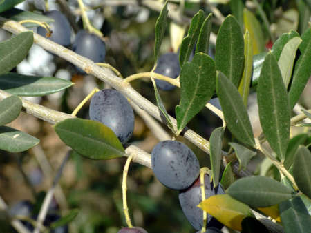 Ripe olives on olive tree branch