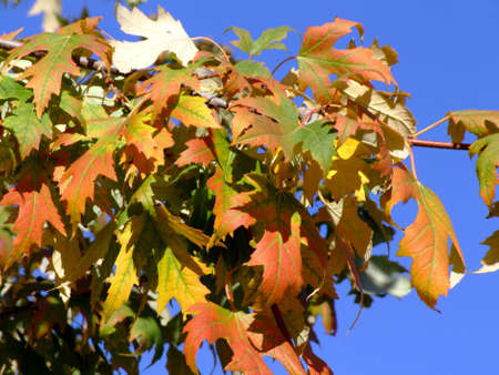 saccharum: Sugar maple leaves on a branch in autumn over blue sky