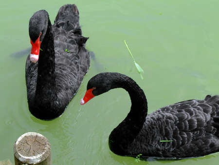 pecker: Black swans swimming in a pond